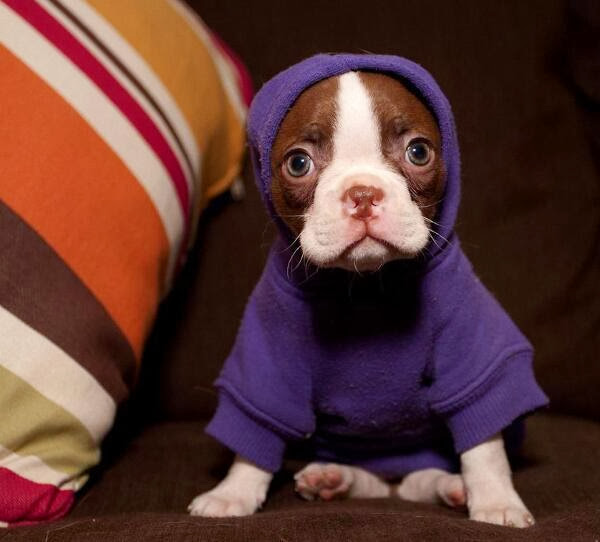 Cute dogs (50 pics), dog pictures, cute little puppy wears hoodie