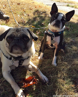 Liam the pug and Sinead the Boston terrier prepare for a walk