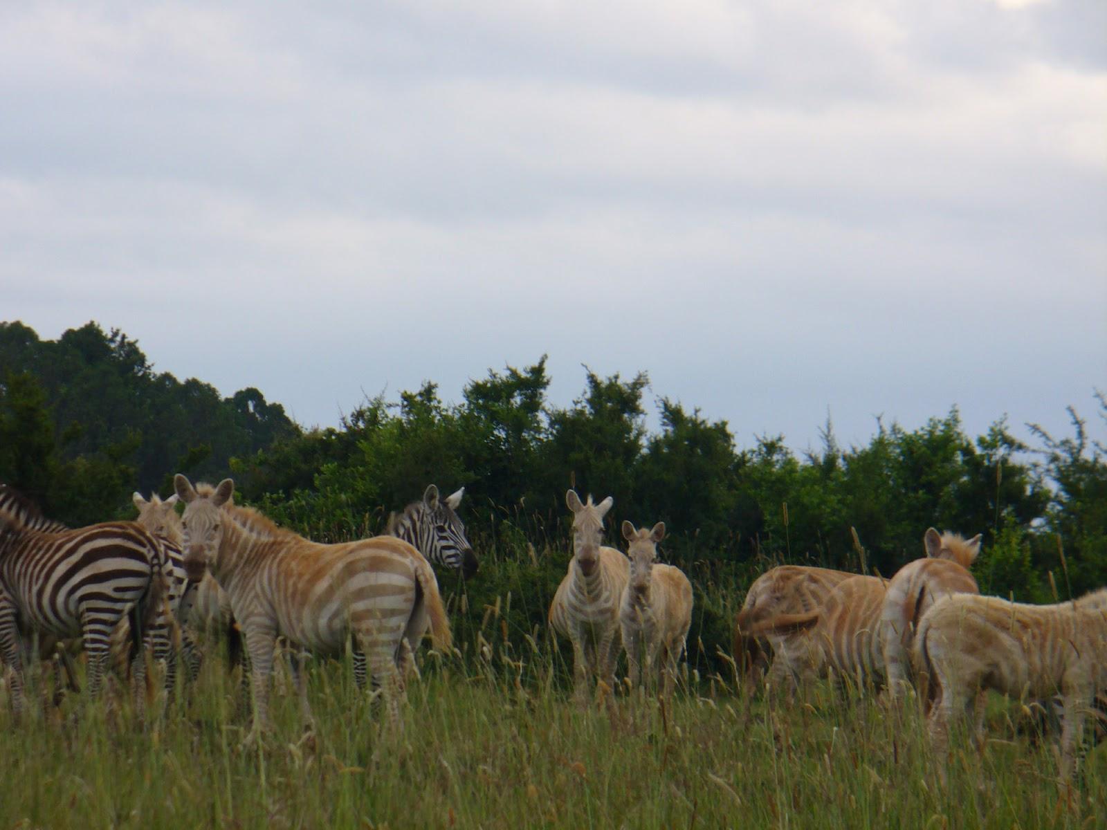the breeding back blog interesting colour morphs in plains zebras