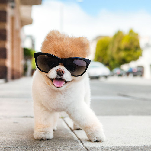 Boo The Pomeranian Pup Has Been Taking Internet By Storm With His Miniature Teddy Bear Earance And Stylish Wardrobe Was Born March 16th 2006