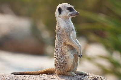 Foto Meerkat