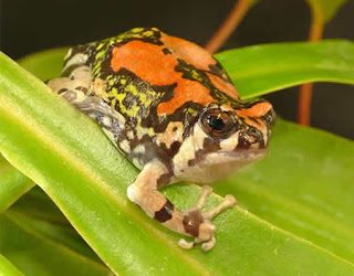 Weirdest Frogs On Earth Malagasy Rainbow Frog
