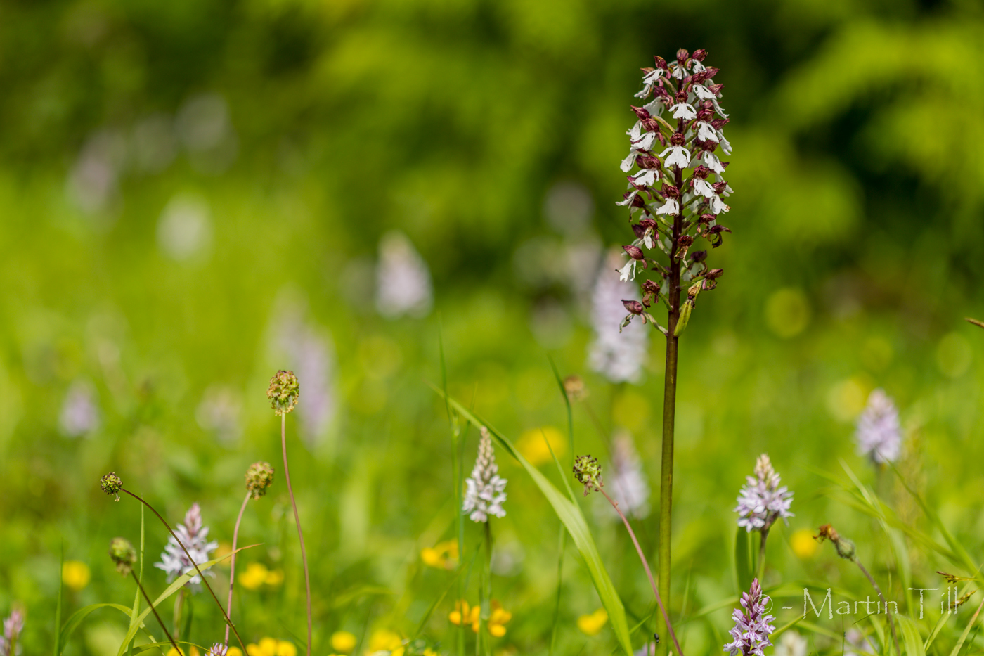 Lady orchid and common spotted orchids
