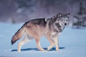 Gray Wolf image