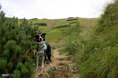 border collie on a mountain track in the Low Tatra Slovakia