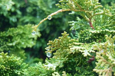 vattendroppar på buske. foto: Reb Dutius