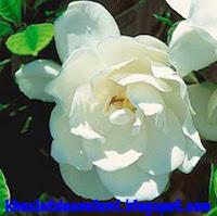 khasiat bunga kaca piring
