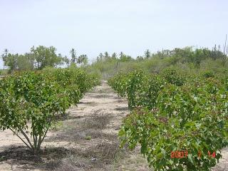 Jatropha curcas field