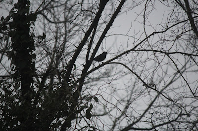 Blackbird in a Tree