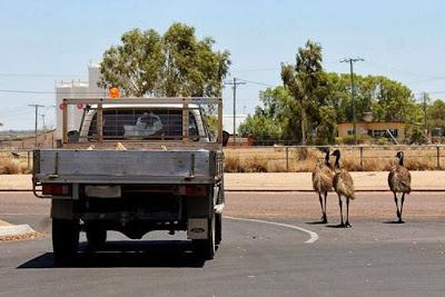 Segerombolan Burung Emu Bikin Macet Jalanan di Australia