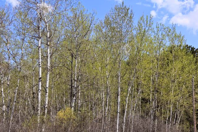 poplar (aspen) leaves in May