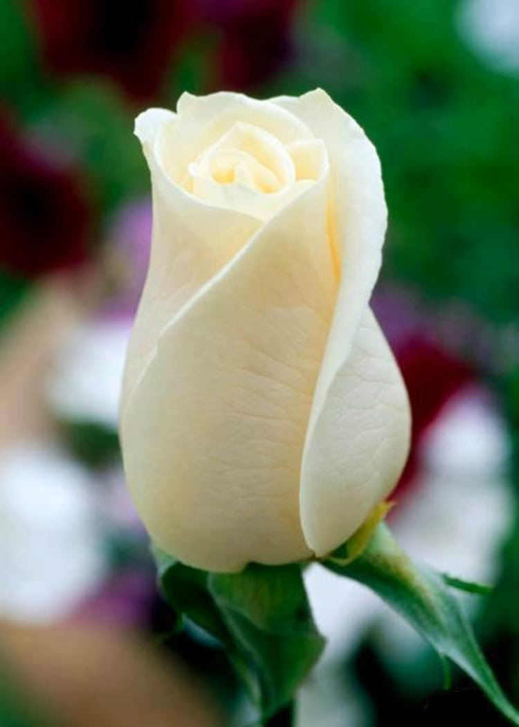 Beautiful White Roses Flowers Pictures Wallpapers Free Downloads