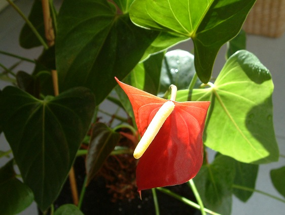 Antúrio - Plantas de interior