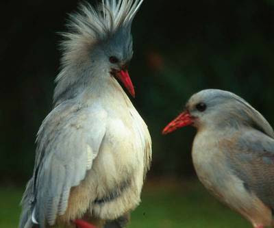 Kagu Bird Photos 3