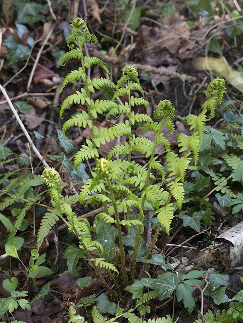 Male Fern, Dryopteris filix-mas.  Darrick Wood, 21 April 2012.
