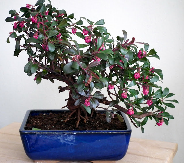 Uva Ursi Bonsai - The blue pot match the red berries and the pink flowers