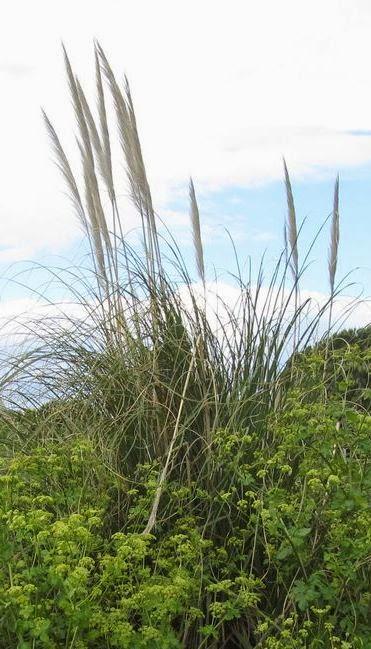 Herbes de Pampa rétaise
