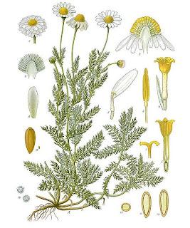 Camomila, Matricaria chamomilla