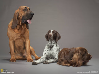 Bloodhounds Wallpaper