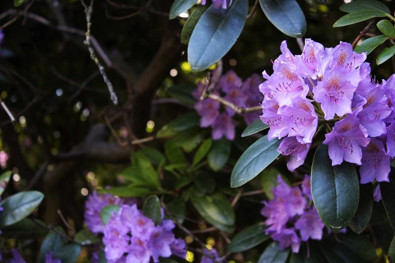 dhorodendroni