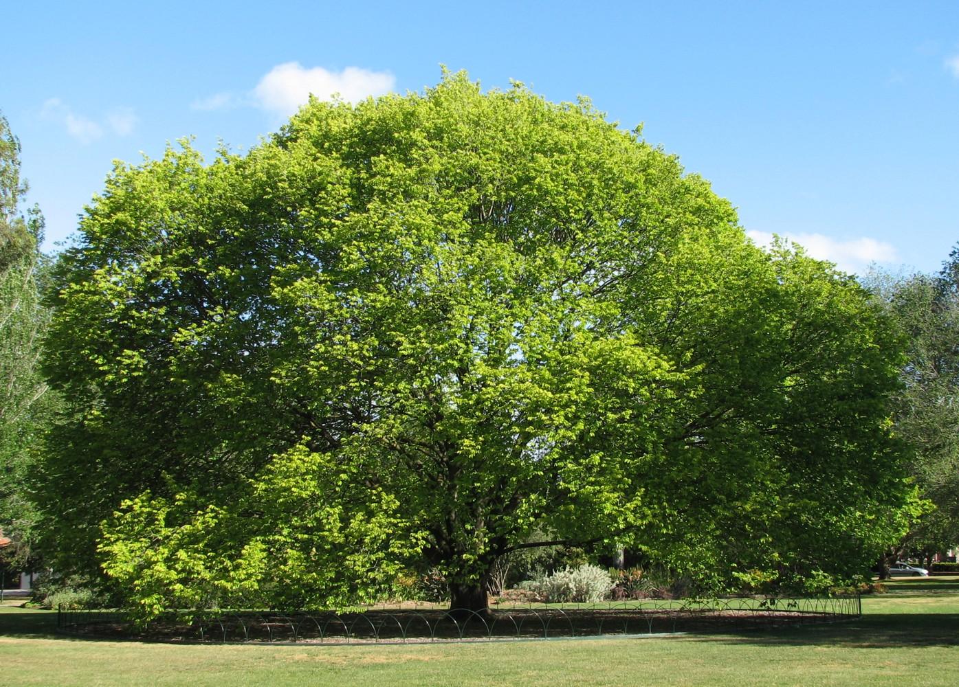 Ulmus glabra Wych Elm tree