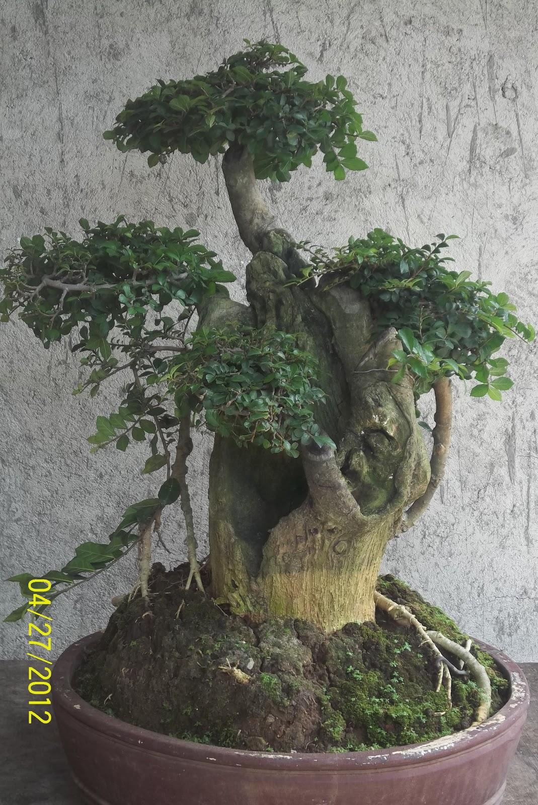 Bonsai Serut BONSAI TREES