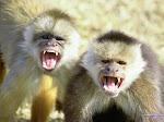 Os Monkeys Também se