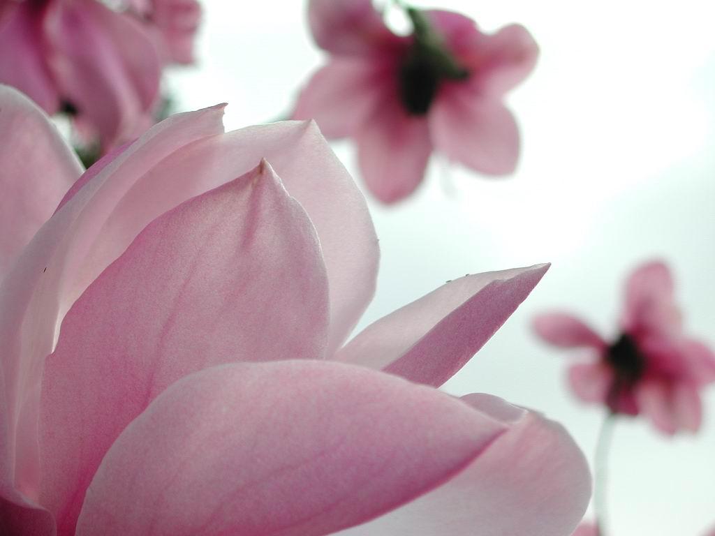 Wwe Wrestlers Profile Louisiana State Flower Magnolia Gallery