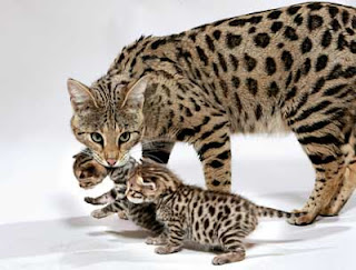 savannah cat pets infomation picture photo animal domestic