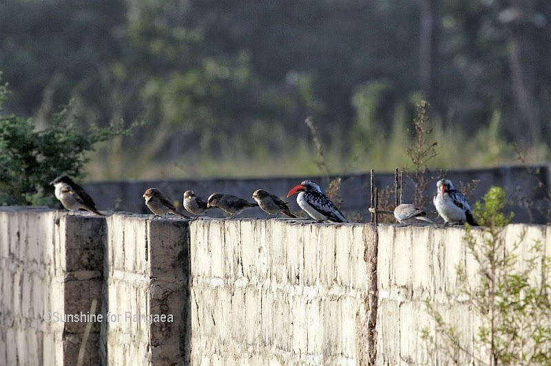 Yellow-billed Shrikes and Western Red-billed Hornbills in Gambia