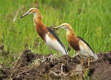 Javan Pond Heron_2011