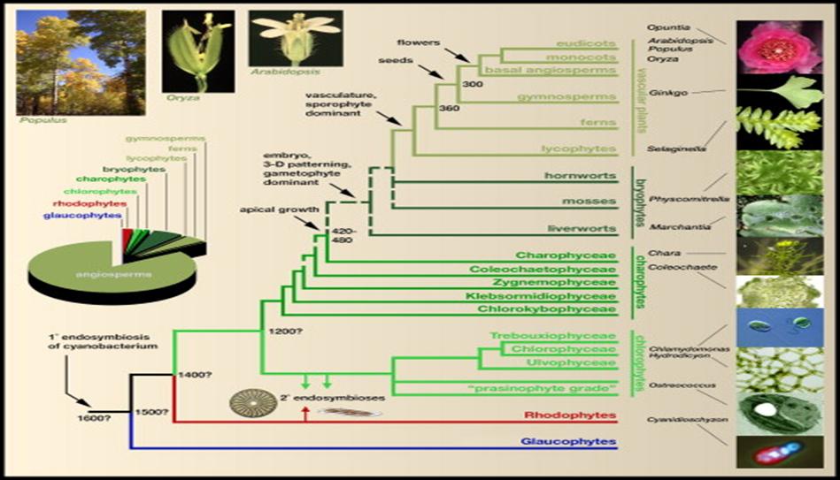 Land plant phylogeny