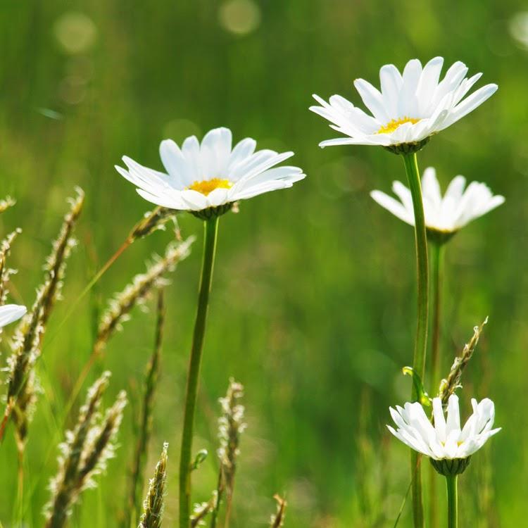 Engområder i haven. Vilde bede med vilde blomster og uslået græs. Romantisk sommerstemninh