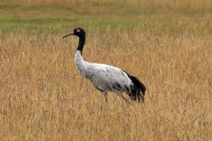 Black-necked Crane