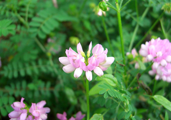 Crown Vetch Flowers