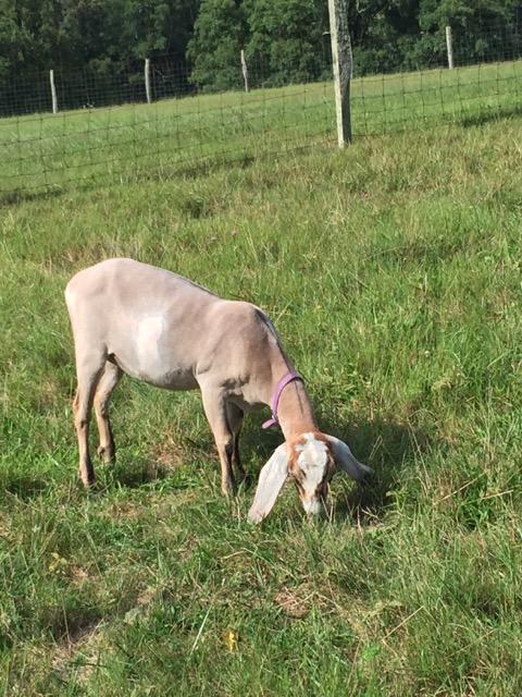 Carl Sandburg home, Connemara, goats
