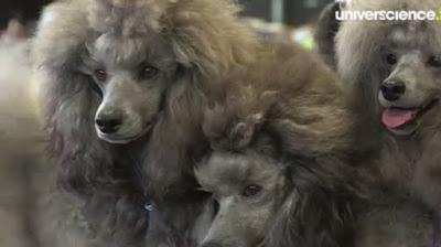 http://www.universcience.tv/video-fabriquer-un-chien-6999.html