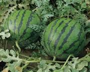 Tips Pemupukan Semangka Melon Apel
