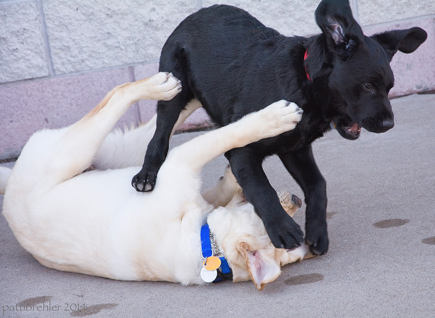A yellow lab puppy is on its back on the cement with its legs in the air. A black lab puppy is jumping over the yellow lab, his right front paw is smashing the yellow lab's face. The black lab's ears are flying!