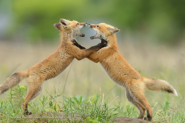 Sparring Red Fox Kits