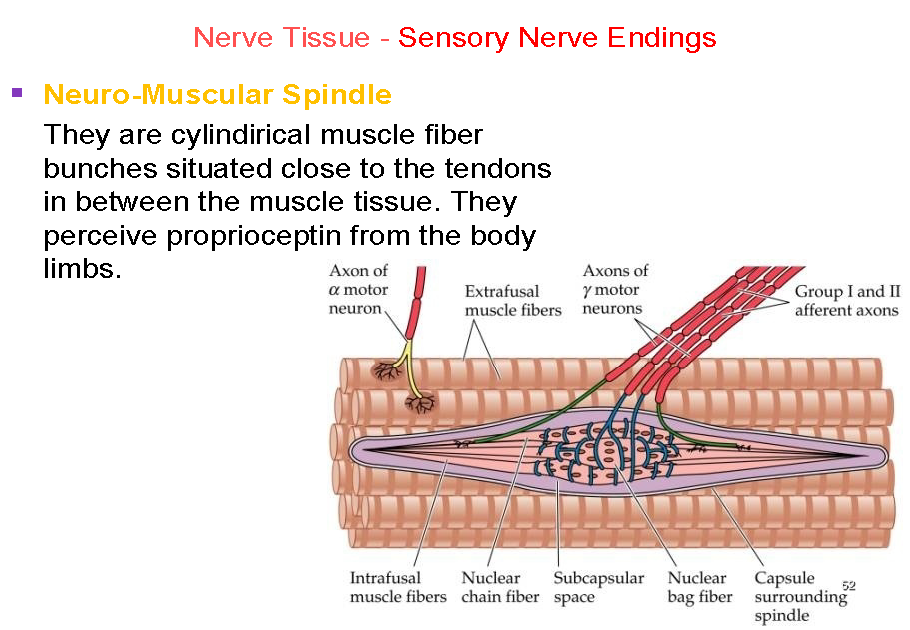 nerve tissue Central nervous system these cells comprise about half the volume of nervous tissue but there are about 5 times as many neuroglia as neurons.