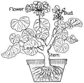 Parts of a flower coloring page flower coloring page for Parts of a plant coloring page
