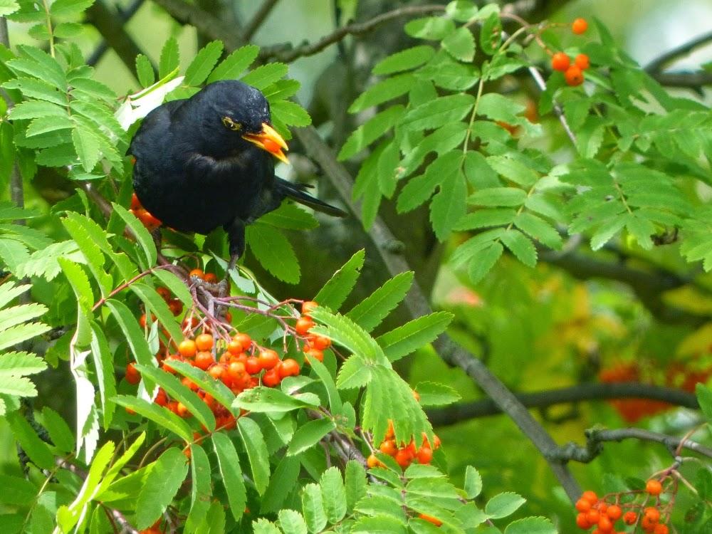 how to catch a hurt blackbird