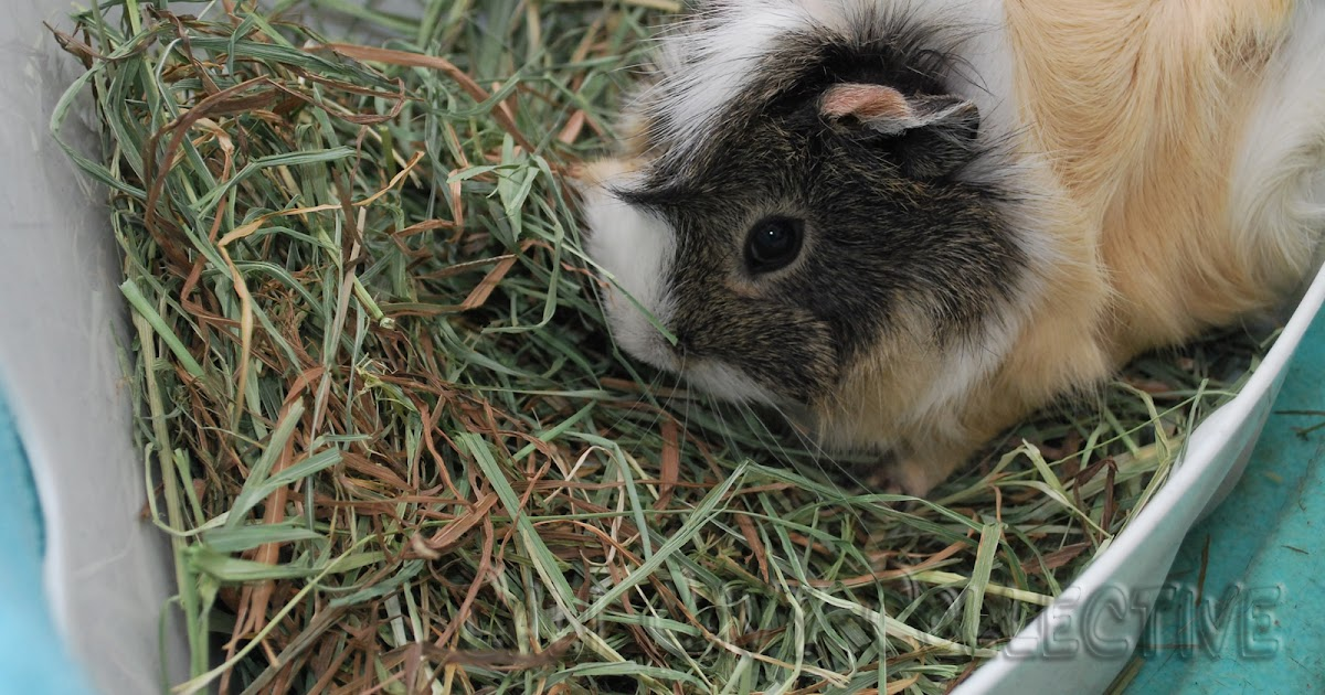 how to keep guinea pig hay tidy