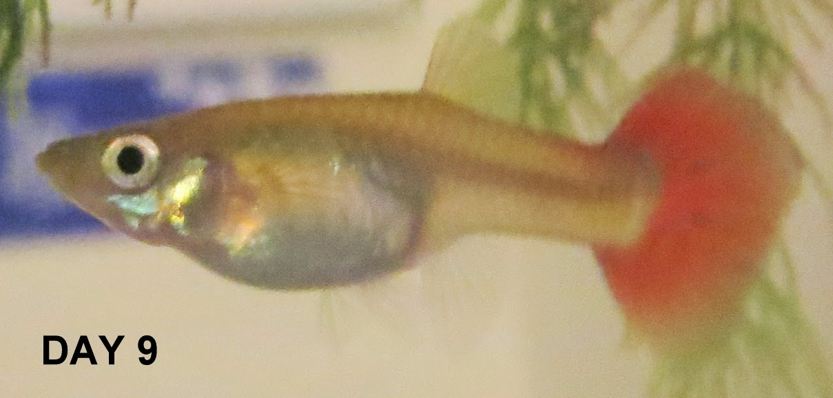 The craft wytch july 2014 for How long is a guppy fish pregnant