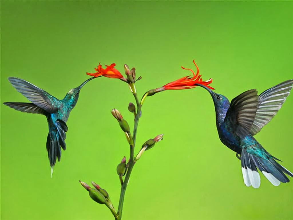 hình nền chim hút mật