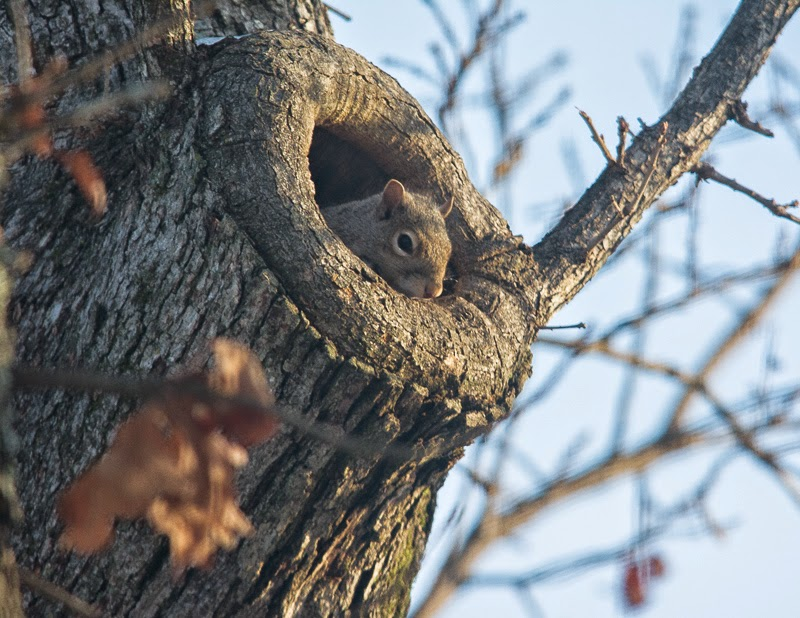 young squirrel looking out from den tree