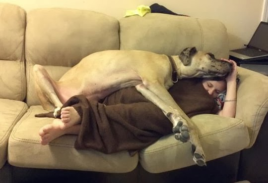 Great dane funny quotes quotesgram for Sofa kuscheln