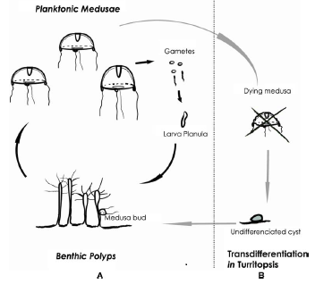 The lifecycle of Turritopsis Dohrnii