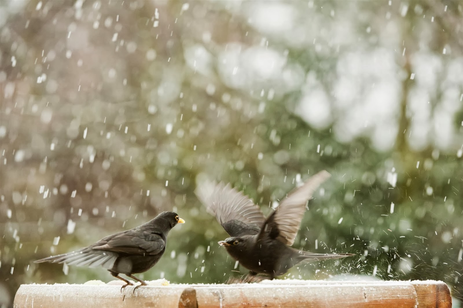 RSPB Photography Blackbirds Eating Seed